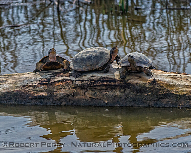 Western pond turtles - basking in the sun