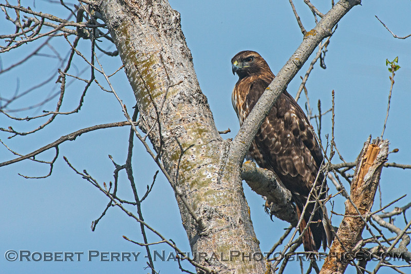 Red-shouldered hawk - nictitating membrane NOT covering eye
