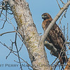 Red-shouldered hawk - nictitating membrane NOT covering eye