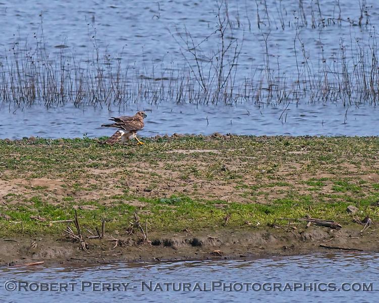 Northern harrier (female) - feeding on prey, sandbar in estuary
