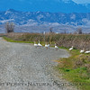 Why did the greater snow geese cross the road?