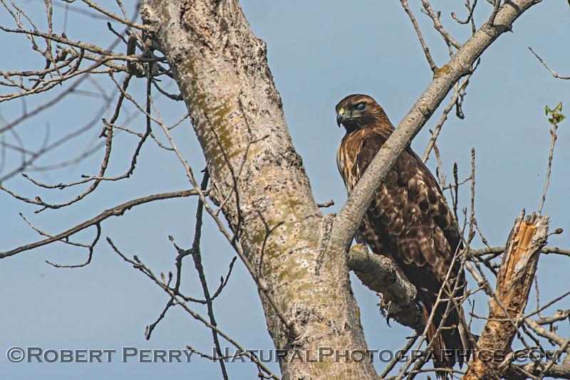 Red-shouldered hawk - nictitating membrane covering eye