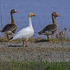 Snow goose and greater white-fronted geese