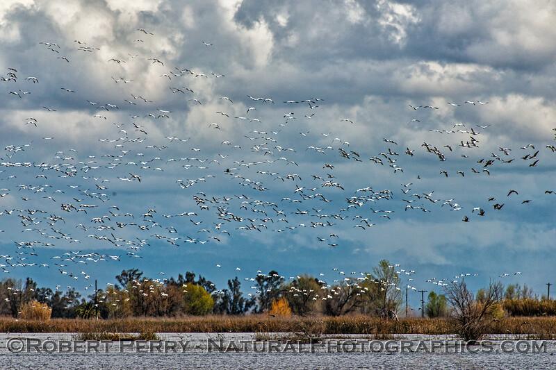 Snow geese flock in flight