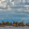 Snow geese flock in flight
