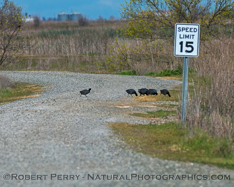 Why did the American coots cross the road?