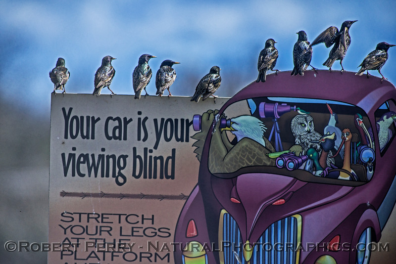 Starlings on sign