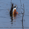 Northern shoveler duck - busy shoveling