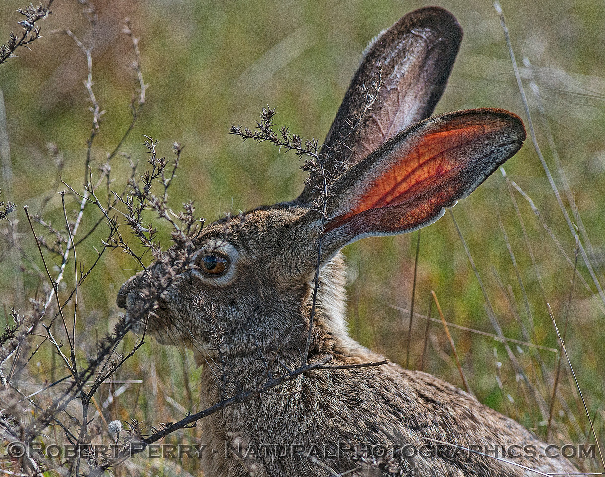 Jackrabbit - Not so camouflaged with backlit red ears, veins, arteries.