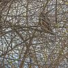 Great horned owl - asleep deep in the branches