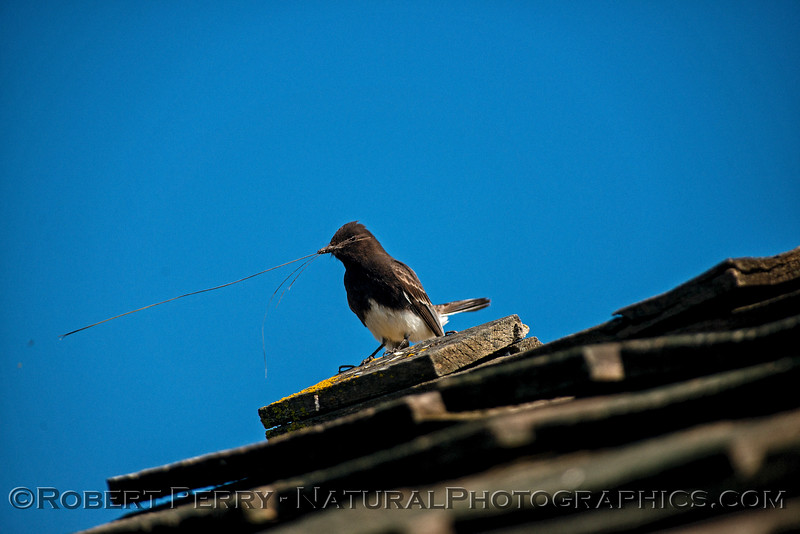 Black phoebe with nesting material