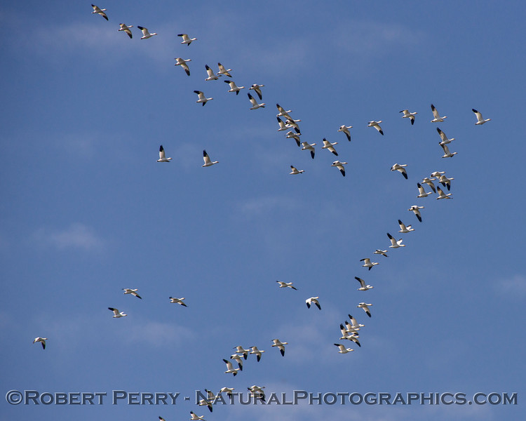 Chen cerulescens Snow geese lines in sky 2018 03-12 Llano Seco-004