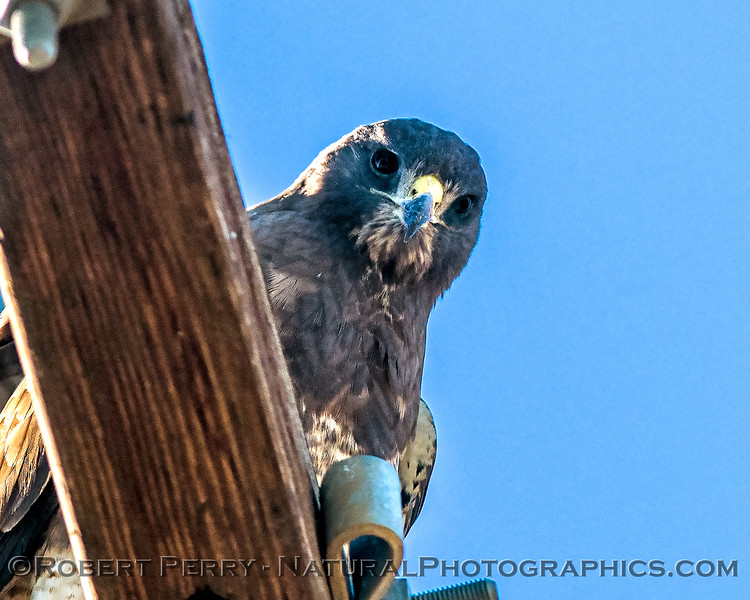 An ever-watchful Swainson's hawk looks down from its perch atop a telephone pole.