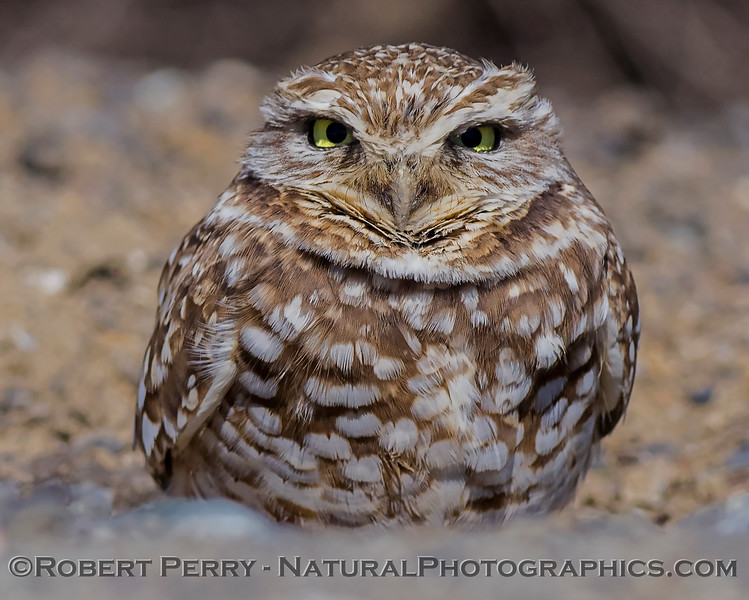 Burrowing owl - keeps eyes on the camera
