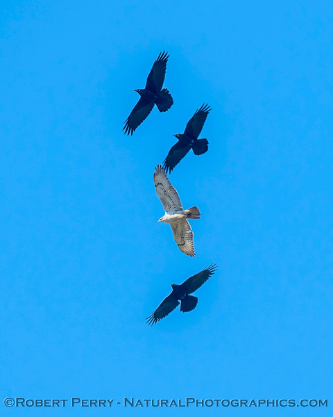 A spectacular ferruginous hawk soars up a thermal along with three ravens.