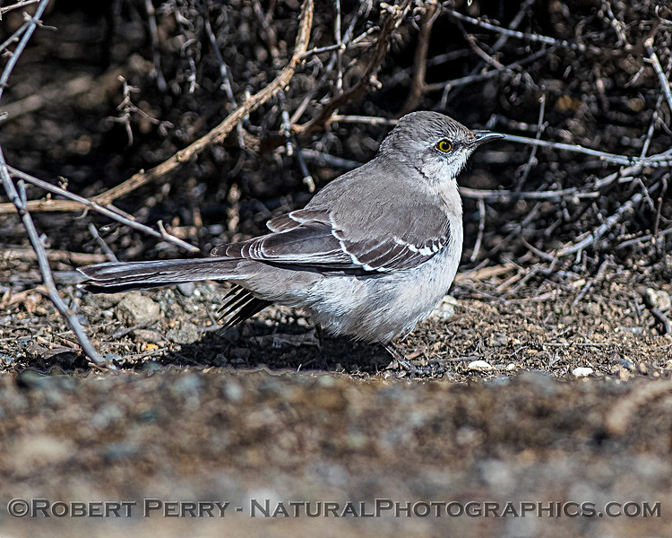 Mockingbird foraging on ground