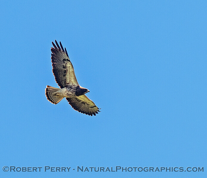 Buteo swainsoni in flight 2018 03-23 Woodland-0079