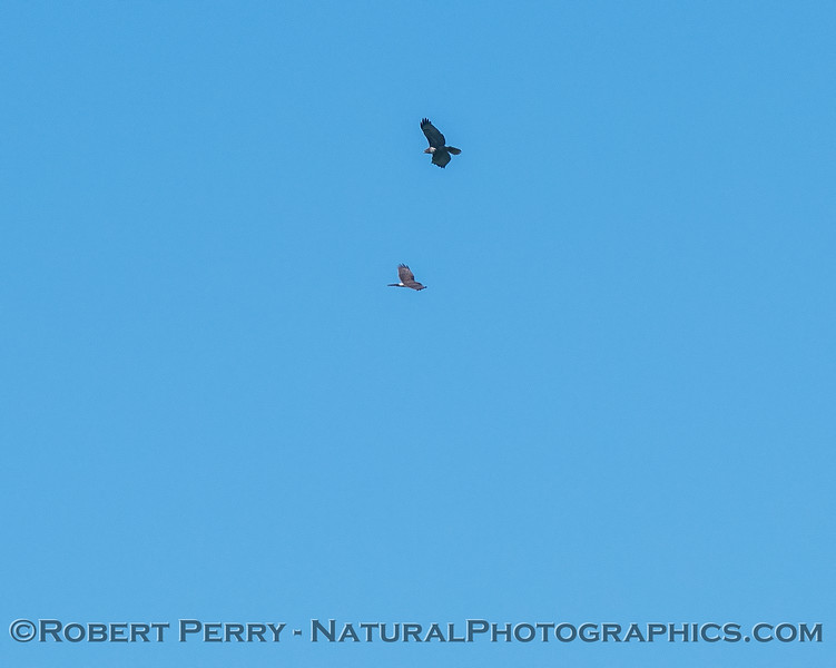 Buteo jamaicensis & Circus cyaneus soar up thermal 2018 03-23 Woodland-0004