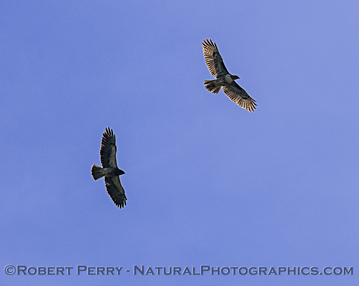 Juvenile red-tailed hawk and a Swainson's hawk