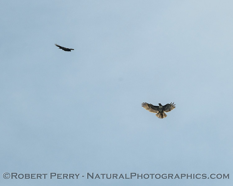 A juvenile red-tailed hawk postures as a Swainson's hawk approaches