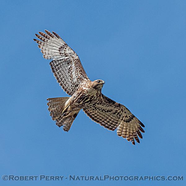Juvenile red-tailed hawk - nictitating membrane down