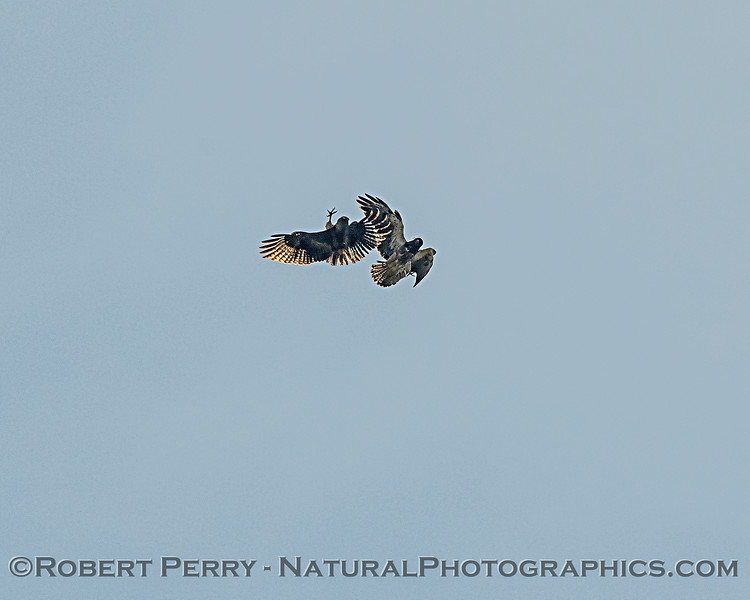 A little bit of interaction as a red-tailed and Swainson's hawks meet up mid air