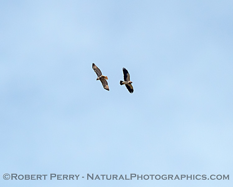 A red-tailed hawk (left) and a Swainson's hawk (right)