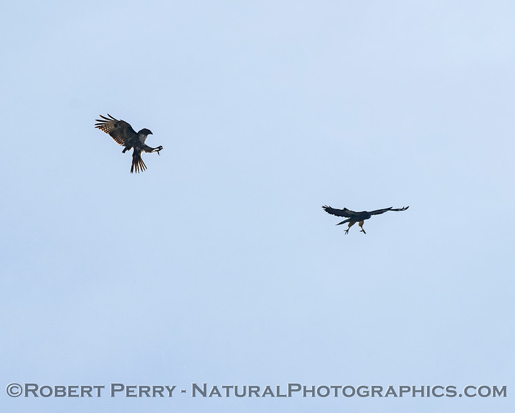 Red-tailed hawk shows talons as Swainson's hawk does a fly-by