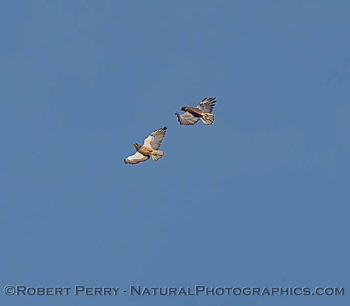 Swainson's hawks interacting.  Each hawk is upside down, belly to the sky, and head reversed 180⁰