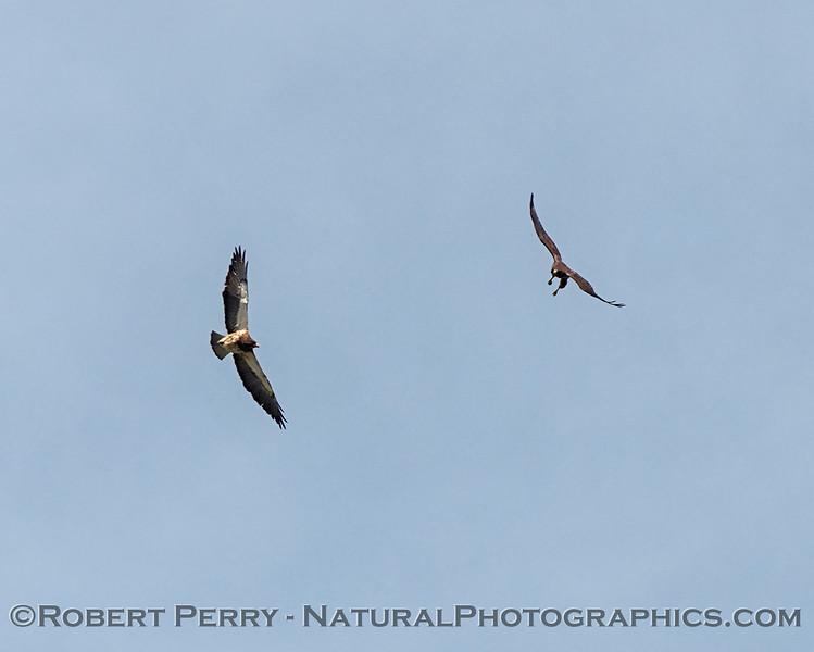 Swainson's hawks interacting.