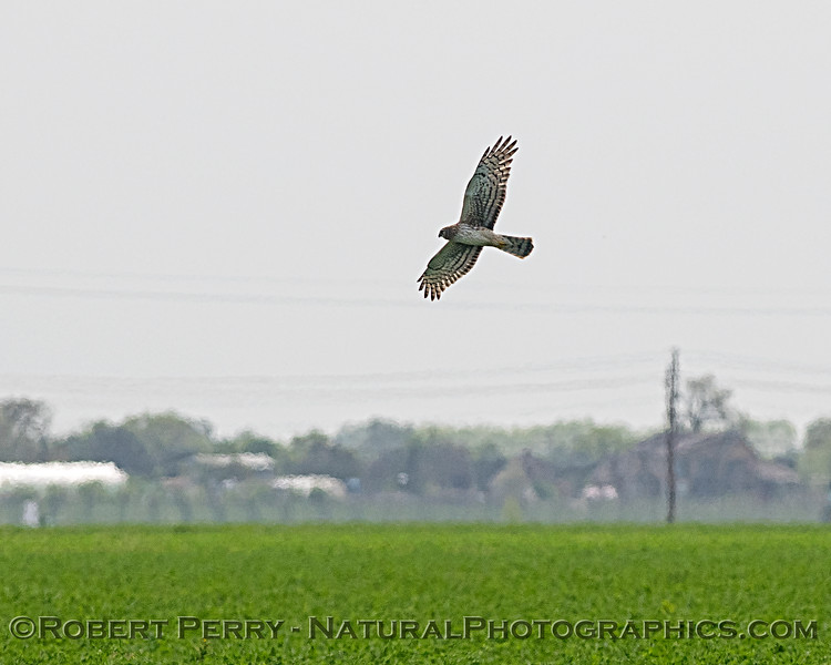 Northern harrier hunting in the alfalfa field.