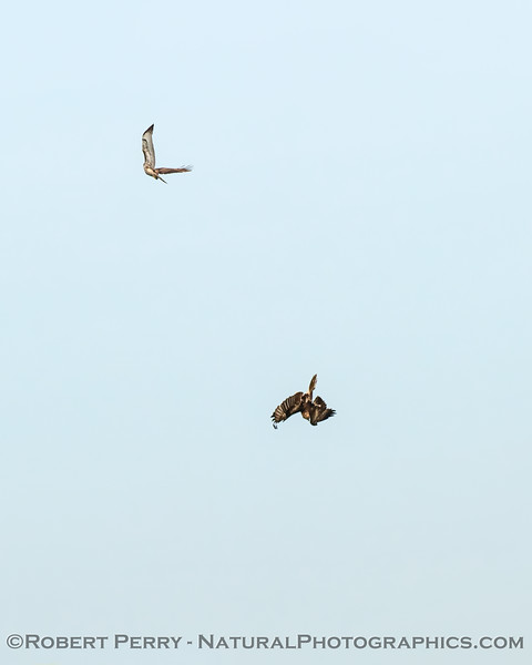 Red-tails having fun competing for a rodent (which the lower hawk is now chasing)
