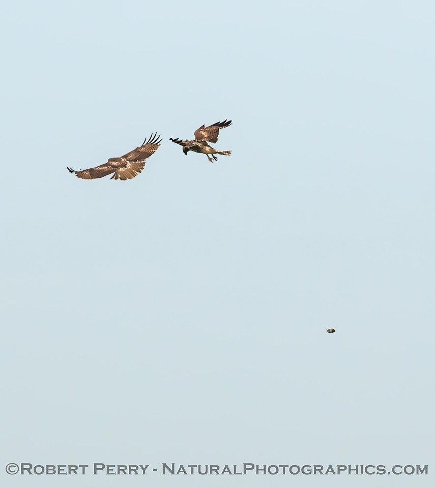 Red-tails having fun competing for a rodent (which was dropped and seen in the lower right)