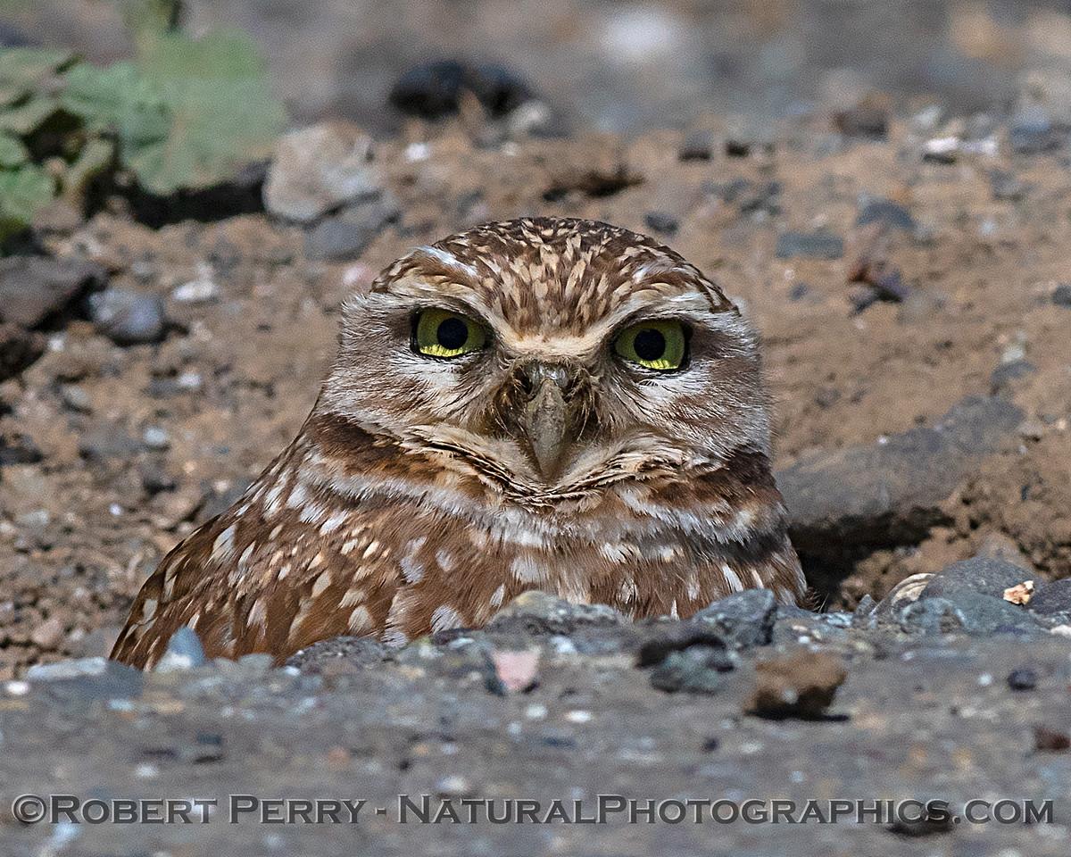 Portrait - Burrowing owl.