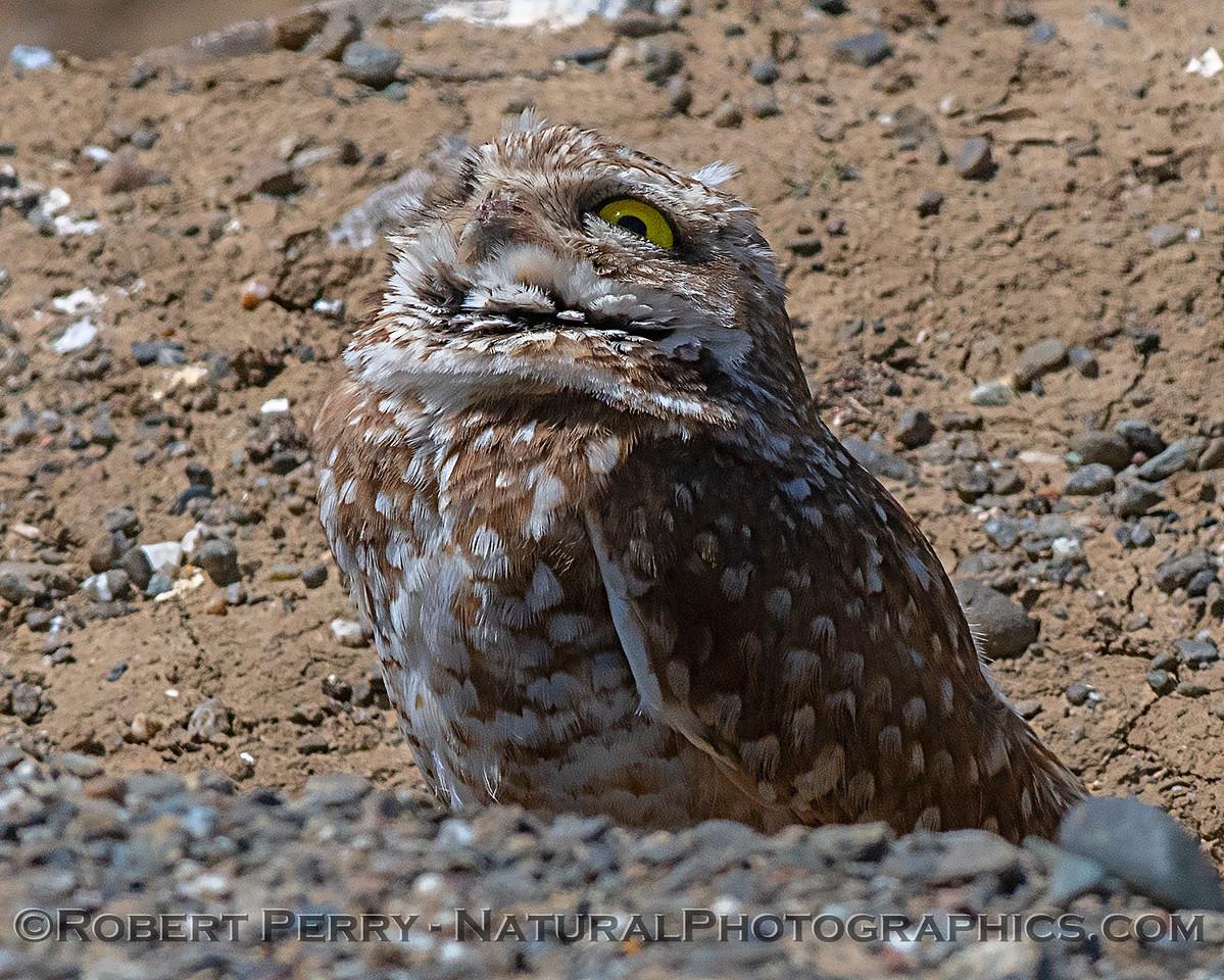 Burrowing owls regularly keep an eye on the sky.