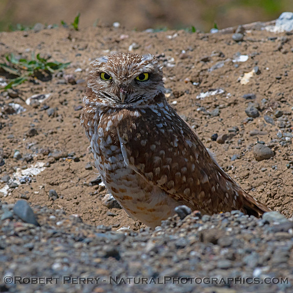 Burrowing owl.