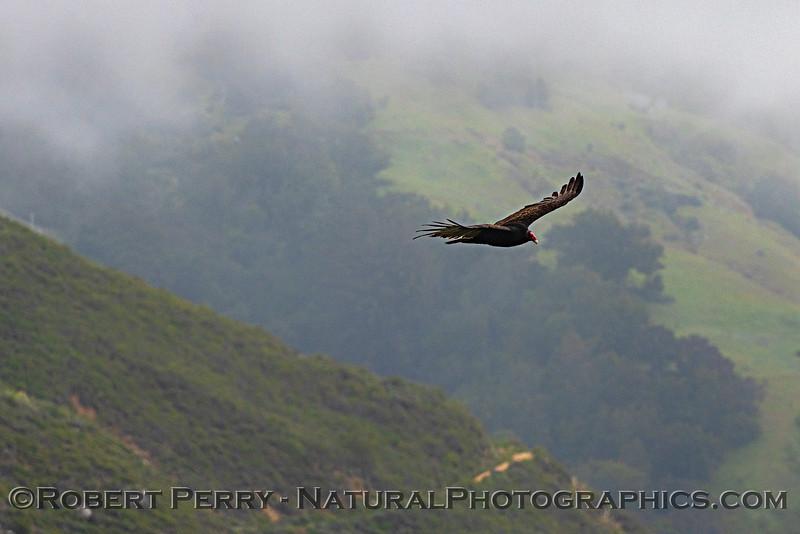 Turkey vulture and the foggy coastal hills of Big Sur.