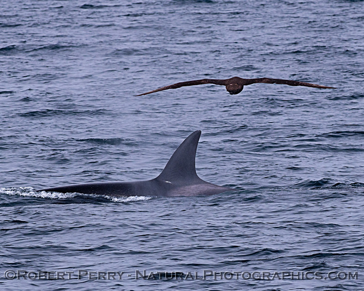 Killer whale (Orcinus orca) - with black-footed albatross