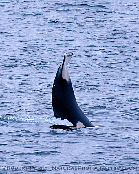 Killer whale (Orcinus orca) - juvenile