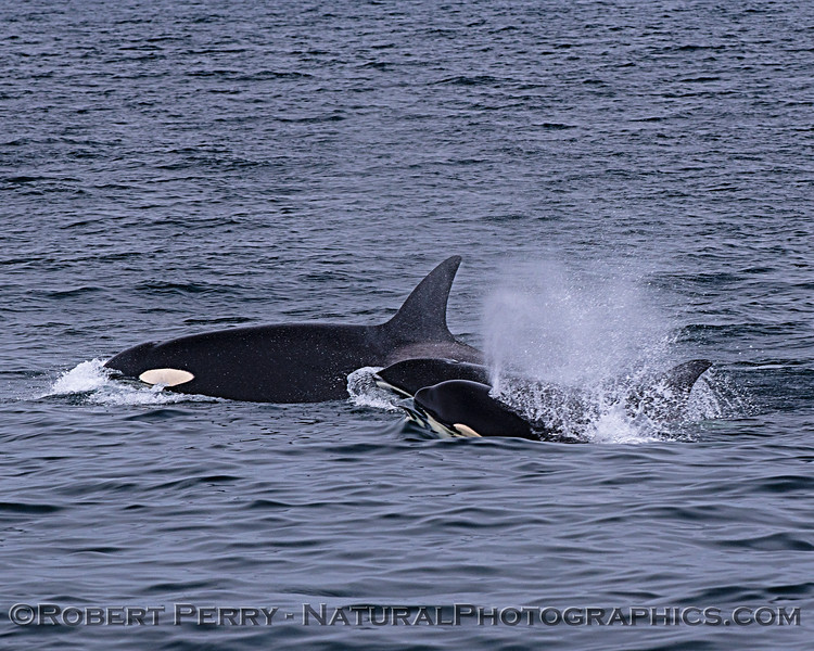 Killer whales (Orcinus orca)