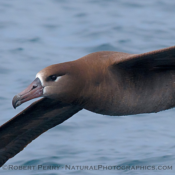 Eyeball-to-eyeball with a black-footed albatross