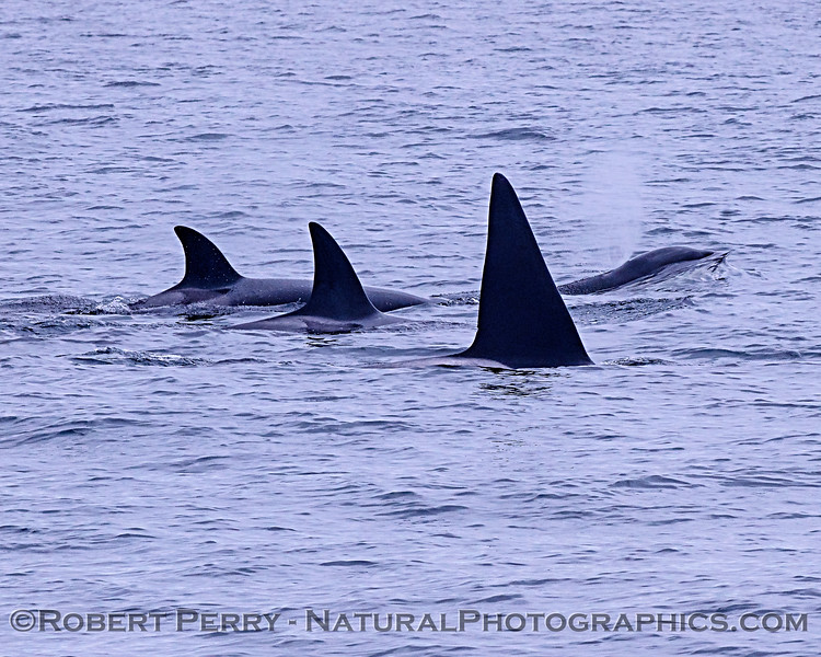 Killer whales (Orcinus orca) - four