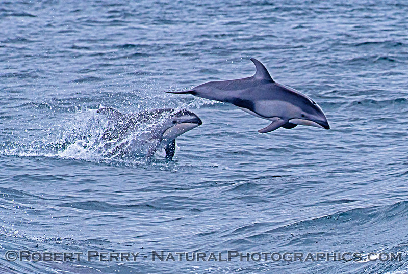 Pacific white-sided dolphins