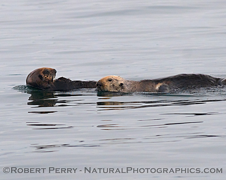 Sea otter mother and pup - Monterey Harbor