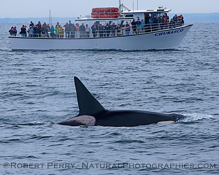 Killer whale (Orcinus orca) - male