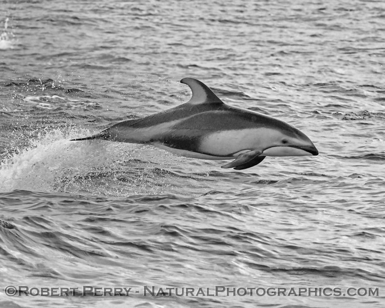 Pacific white-sided dolphin - black & white rendering