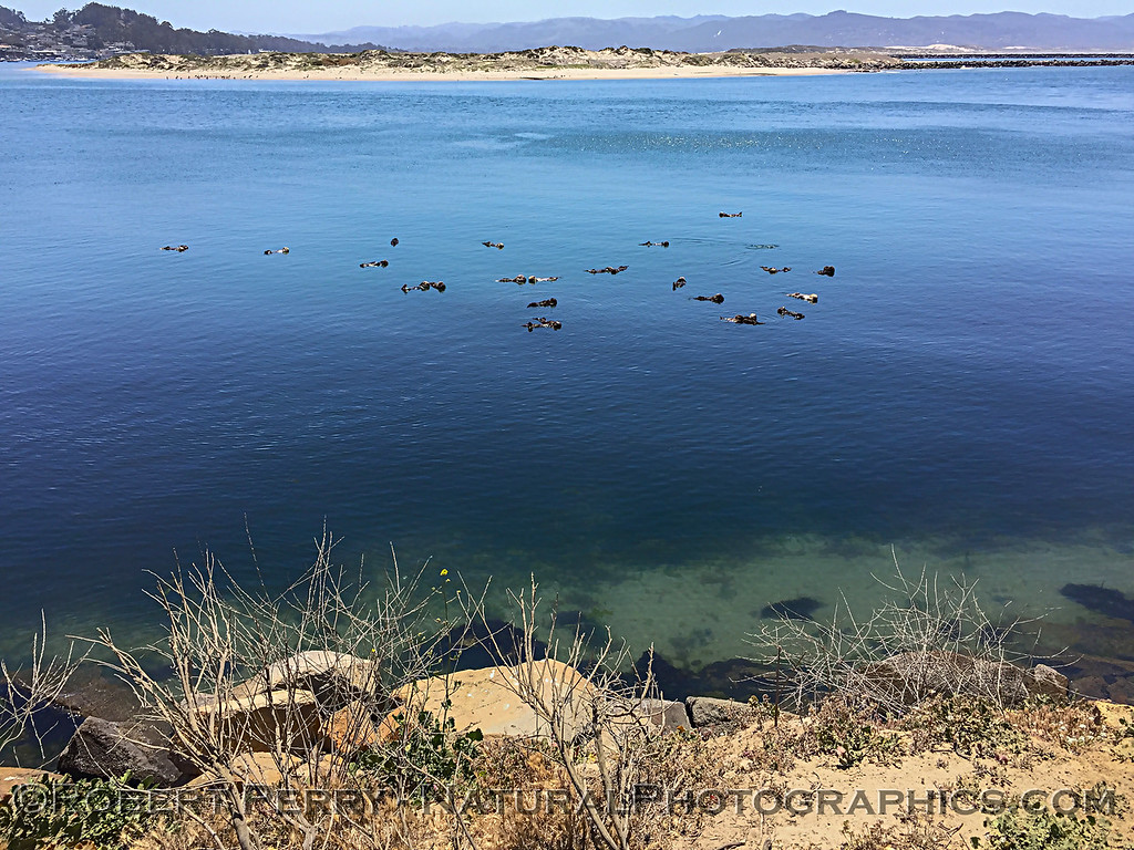 Enhydra lutris wide angle iPhone 2018 05-14 Morro Bay-001