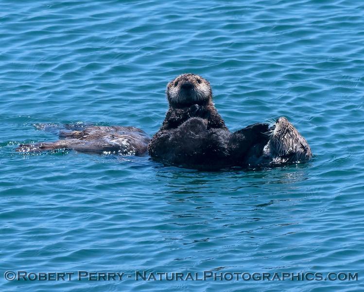 Enhydra lutris 2018 05-14 Morro Bay--572