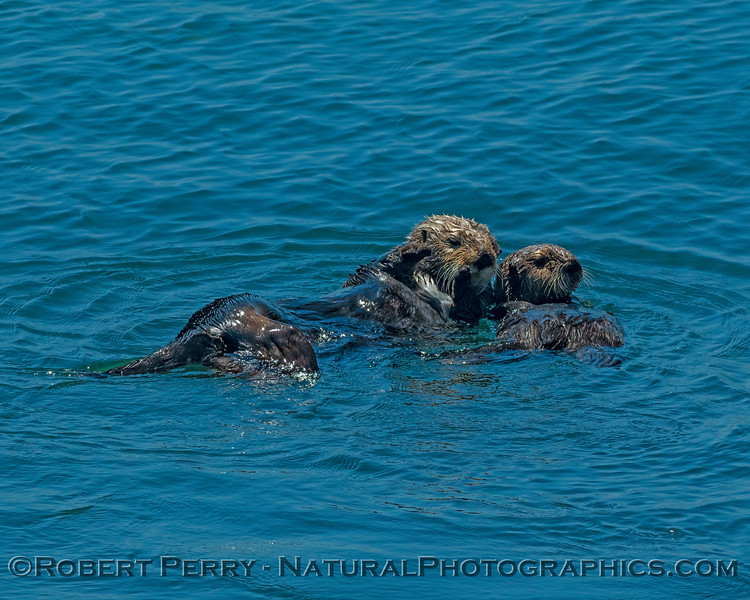 A mother sea otter and her not-so-little pup enjoy the sunny day.