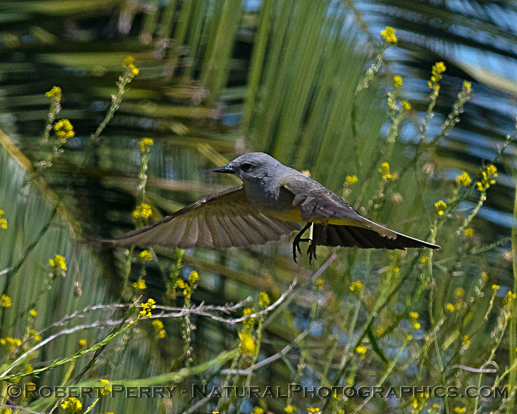 Tyrannus verticalis Western Kingbird 2018 05-22 Yolo County--0076